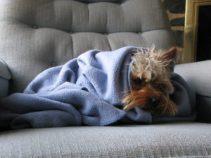 Forlorn dog in a blanket